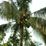 Coconuts!!