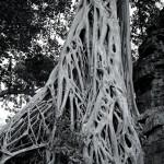Strangler Trees